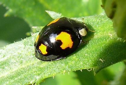 harmonia axyridis coccinelle 4 points jaunes le monde des insectes. Black Bedroom Furniture Sets. Home Design Ideas